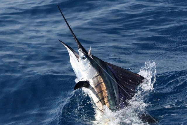 Sailfish_newsfull_h